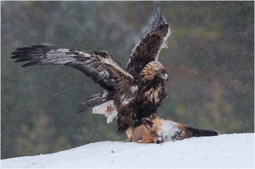 Golden Eagle with prey by Carol Minks