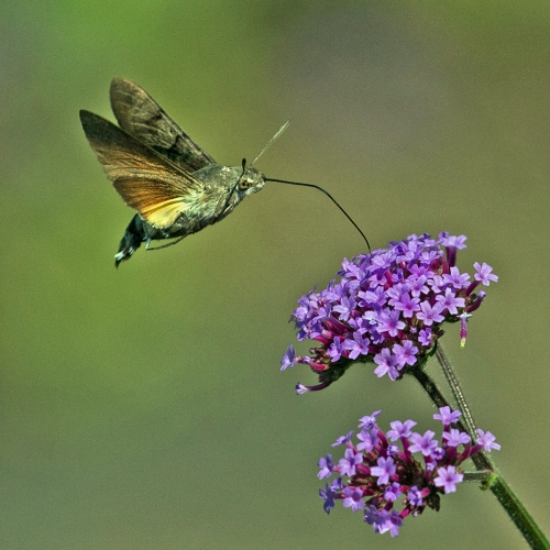 Hummingbird Hawkmoth Nectar Feeding by Tony Marsh