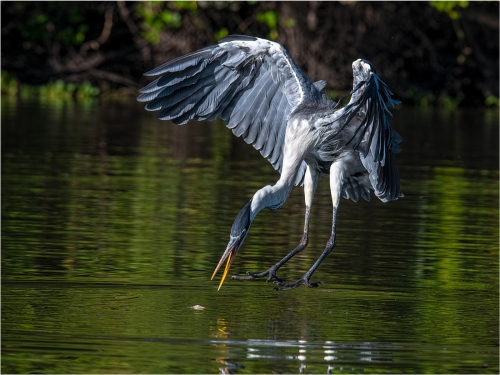 Heron Diving for Fish by Ronnie Gilbert