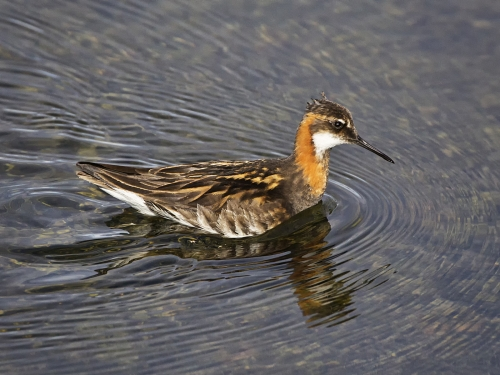 Phalarope Hunting for Food by Tricia Rayment