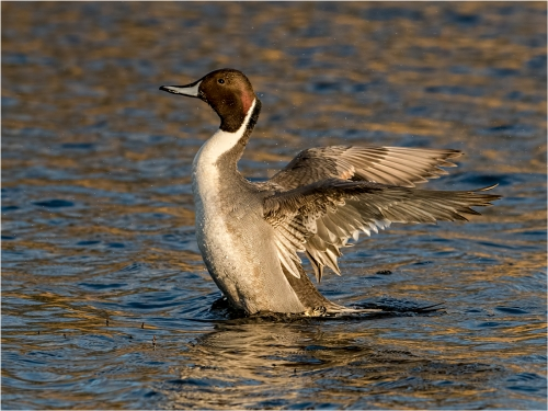 Pintail Stretching by Ronnie Gilbert