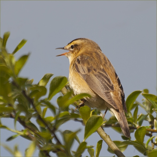 Sedge Warbler Warbling by David Rayment