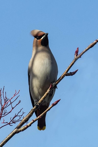 Waxwing by Carol Minks