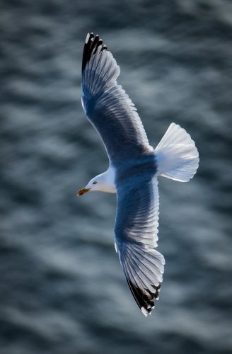 St Bees Herring Gull by Richard Jakobson