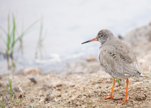 Redshank On The Misty Shore by Keith Snell