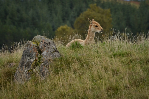 Vicuna in the Highlands by Wendy Jordan