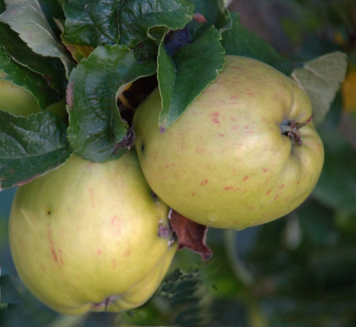 An Apple a Day by Stephen Harris