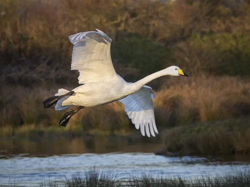 Whooper Swan Coming in to Land by  Tricia Rayment