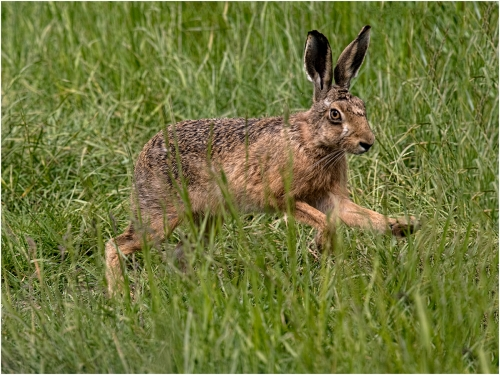 Running Hare by Ronnie Gilbert