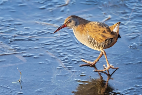 Water Rail and frozen lure by David Woodthorpe