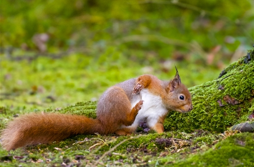 Red Squirrel Scratch by Keith Snell