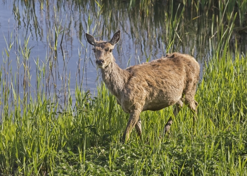 Alert Red Deer in Evening Light by Tricia Rayment