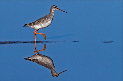 Spotted Redshank by Tony Marsh