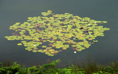 Tarn Hows Lilies by Heleen Franken-Gill