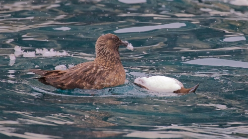 Arctic Skua With Guillemot Prey by Keith Snell