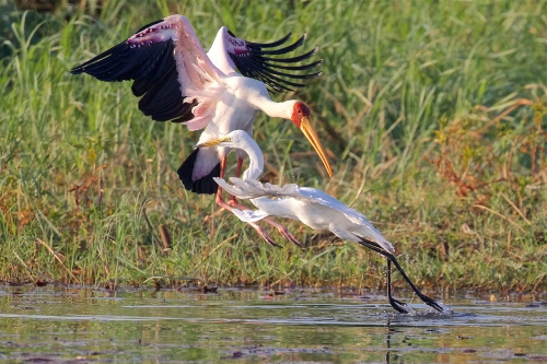 Yellow-billed Stork Attacking Egret by Keith Snell