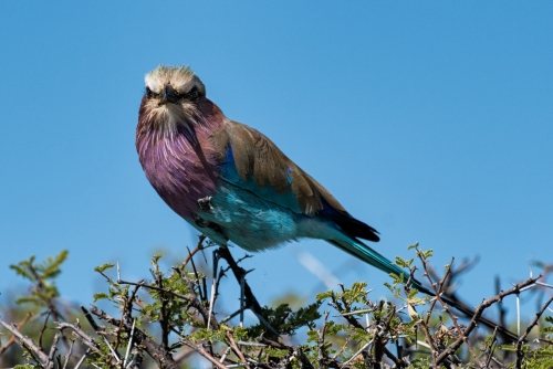 Lilac breasted roller by Richard Jakobson