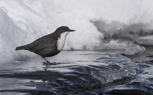 Dipper on Ice by Carol Minks