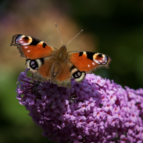 Peacock on Buddleia by Richard Jakobson