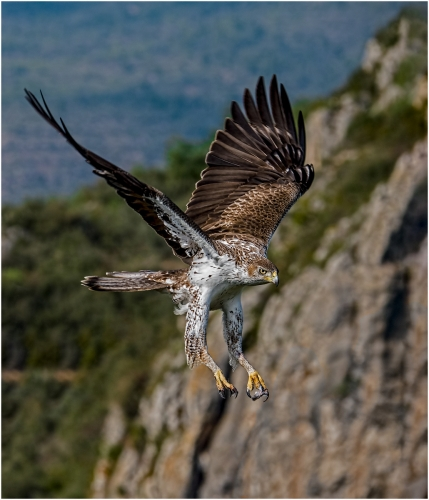 Bonelli's Eagle in Flight by Ronnie Gilbert