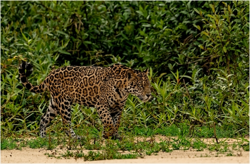 Jaguar on the Prowl by Ronnie Gilbert