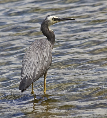 Alert White-Faced Heron by Tricia Rayment