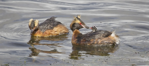 Slavonian Grebe Family by Tricia Rayment