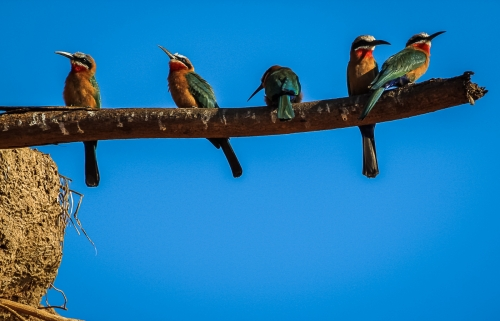 White-fronted Bee-eaters by Graham Smith
