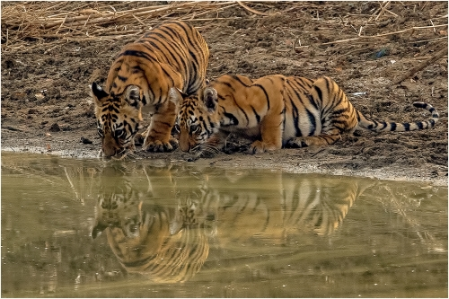 Tiger Cubs at Water Hole by Ronnie Gilbert