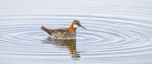Red Necked Phalarope Making Ripples by David Rayment