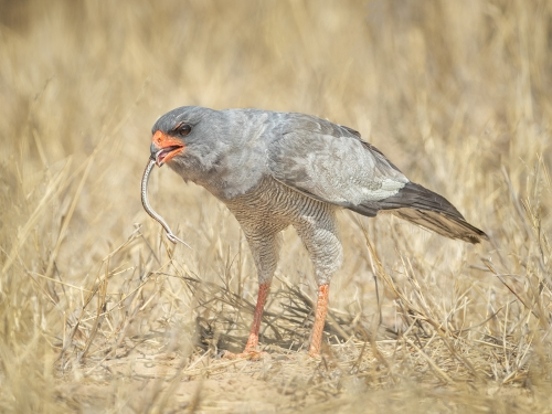 Pale Chanting Goshawk with Kill  by Alan Walker