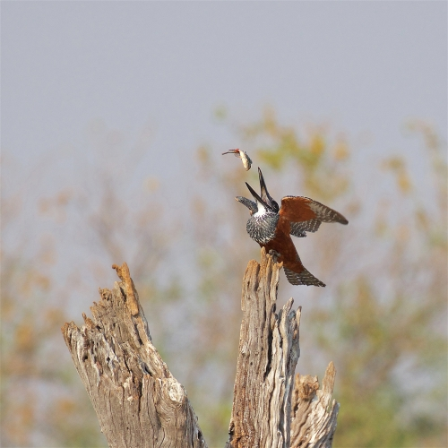 Keith Snell: Giant Kingfisher With Catch