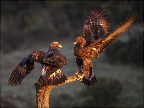 Ronnie Gilbert: Golden Eagle Pair Displaying