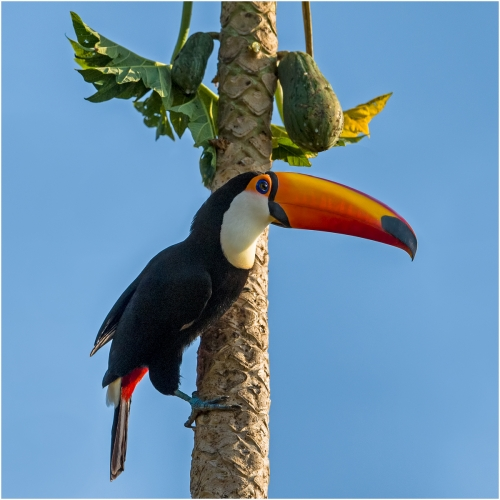 Ronnie Gilbert: Toco Toucan