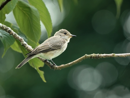 Gordon Train: Spotted Fly Catcher
