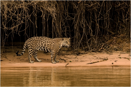 Jaguar on River Bank at Dawn by Ronnie Gilbert