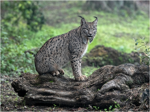 Iberian Lynx on Olive Log by Ronnie Gilbert