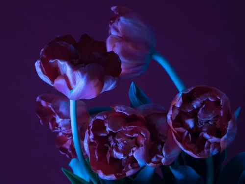 Mysterious Tulips by Heleen Franken-Gill