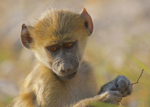 Distracted Baby Baboon by Keith Snell