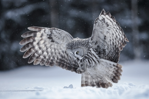 Great Grey Owl,Finland by Carol Minks