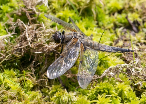 David Woodthorpe Four-spotted Chaser