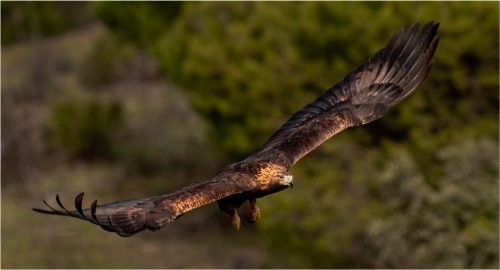 Golden Eagle in Flight by Ronnie Gilbert