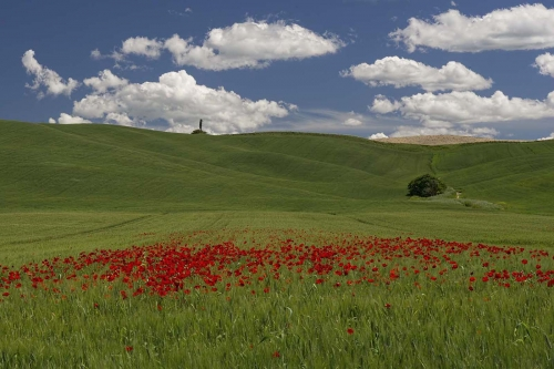 Poppies in a wheatfield,Tuscany by Carol Minks
