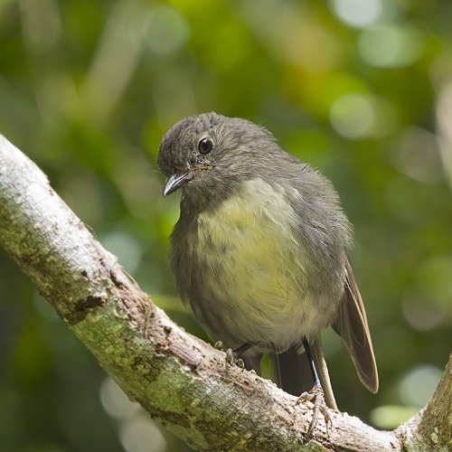 New Zealand Robin in Forest by David Rayment