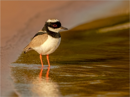 Collared Plover by Ronnie Gilbert