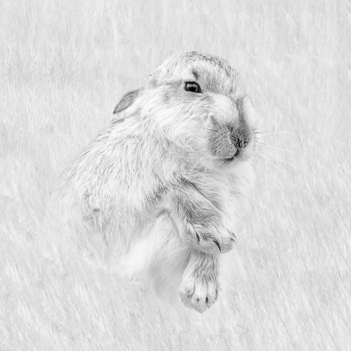 Mountain Hare by Julie Walker