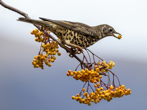 Mistle Thrush by David Woodthorpe