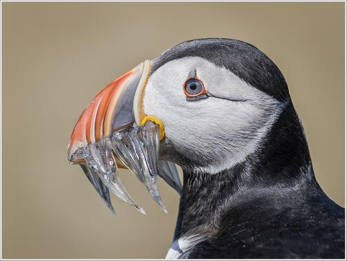 Atlantic puffin with Sand Eel catch